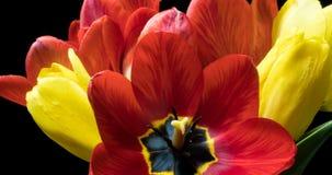 Laps de temps avec un bouquet de couleur diff?rente des tulipes, sur un fond noir clips vidéos