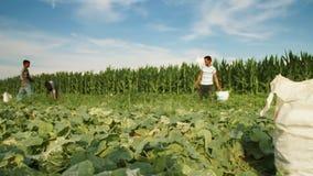 Laps de temps d'aide de récolte recherchant des concombres sur le champ de plantation clips vidéos