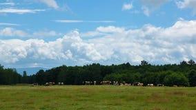 Laps de temps de nuages et de troupeau de vache banque de vidéos