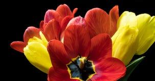 Lapso de tempo com um ramalhete da cor diferente das tulipas, em um fundo preto video estoque