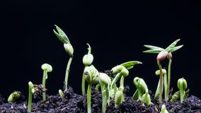 Lapso de tempo da semente da germinação filme