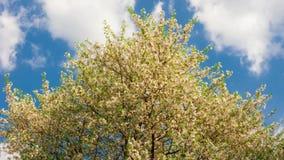 Lapso de tempo das flores brancas da mola de uma árvore de cereja no céu azul nebuloso vídeos de arquivo