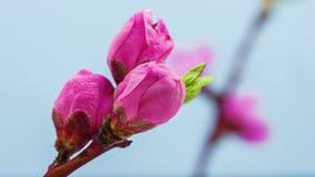Lapso de tempo de florescência da flor do pêssego video estoque