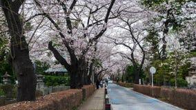 Lapso de tempo do festival da flor de cerejeira em Aoyama Cemetery Aoyama Cemetery ? um ponto popular durante a esta??o de mola,  video estoque