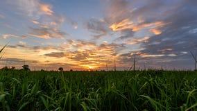 Lapso de tempo que filtra o campo da cana-de-açúcar da vista no tempo do por do sol video estoque