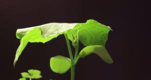 Lapso de tempo de secagem da grama verde, nenhuma chuva, nenhuma água, nenhuma vida, morte da natureza, conceito da seca, aquecim filme