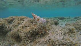 Lapso de tempo de um caracol de Triton que move-se debaixo d'água filme