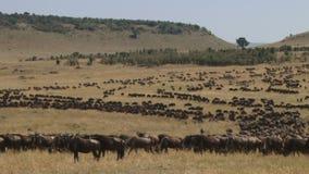 Lapso de tiempo de ñus en Kenyan Plain metrajes