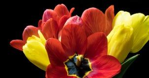 Lapso de tiempo con un ramo de diverso color de tulipanes, en un fondo negro almacen de metraje de vídeo