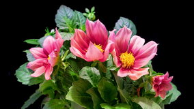 Lapso de tiempo de Dahlia Flowers Blooming almacen de video
