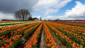 Lapso de tiempo de nubes sobre tulipanes coloridos en Woodburn o durante la estación de primavera 4k almacen de metraje de vídeo