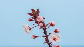 Lapso de tiempo floreciente de la flor del albaricoque almacen de metraje de vídeo