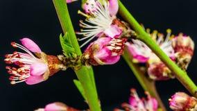Lapso de tiempo floreciente de la flor del albaricoque metrajes