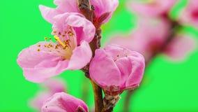 Lapso de tiempo floreciente de la flor del melocotón metrajes