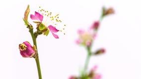 Lapso de tiempo floreciente de la flor del melocotón almacen de metraje de vídeo