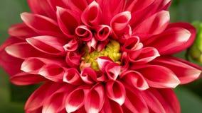 lapso de tiempo 4K de la dalia roja floreciente de la flor metrajes