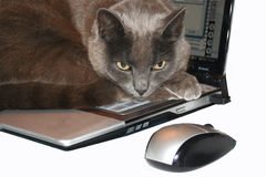 Laptop Cat and mouse. A cat lays and takes a break on a laptop keyboard and stares at the wireless computer mouse Royalty Free Stock Image