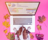 Laptop computer with graphic projects and dog. And autumn maple leaves around at pink background royalty free stock images