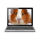 Laptop computer with guinea pig on screen Stock Photography