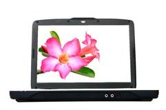 Laptop monitor with desert rose flower. The laptop monitor with desert rose flower Royalty Free Stock Image