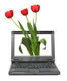 Laptop with tulips bouquet Royalty Free Stock Images