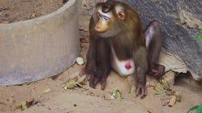 Lapunder, мужская свинья замкнуло макаку в aviary зоопарка акции видеоматериалы