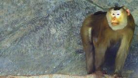 Lapunder, мужчина свинь-замкнуло макаку двигая на каменный утес сток-видео