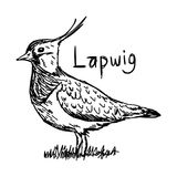 Lapwig - διανυσματικό χέρι σκίτσων απεικόνισης που σύρεται με τις μαύρες γραμμές, διανυσματική απεικόνιση