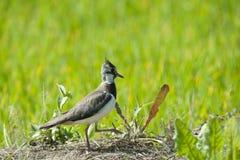 Lapwing в рисе puddy Стоковое Изображение