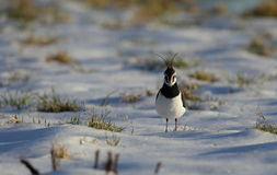 A lapwing. Royalty Free Stock Images