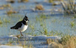 Lapwing. Royalty Free Stock Image