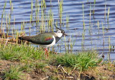 Lapwing Stock Photos