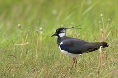 Lapwing Stock Photography