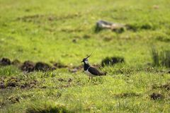 Lapwing Royalty Free Stock Image