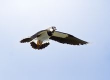 Lapwing. Stock Photo