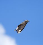 Lapwing. Stock Photos