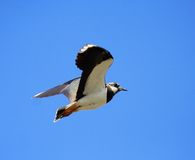 Lapwing. Royalty Free Stock Photo