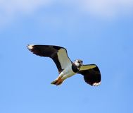Lapwing. Royalty Free Stock Images