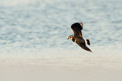 lapwing Foto de Stock Royalty Free