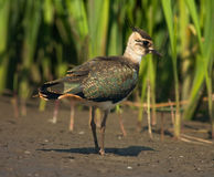 Lapwing. Young lapwing on a coast of lake royalty free stock photos