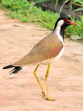 Lapwing. Bird standing in wild Stock Images