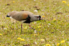 Lapwing Stock Images