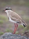 Lapwing Royalty Free Stock Photos