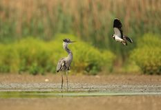 Heron versus Lapwing. Lapwing attacks the heron and defends its youngsters hidden at the dry bottom of the lake stock photos