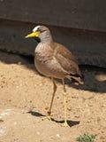 Lapwing bird Royalty Free Stock Images