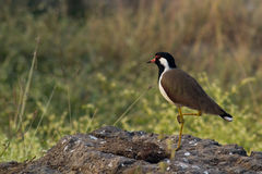 Lapwing Bird Royalty Free Stock Photography