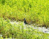 Lapwing  bird in meadow Stock Image
