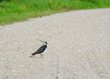 Lapwing  bird  on road Stock Photography