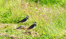 Lapwing  birds in meadow Royalty Free Stock Photography