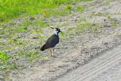 Lapwing  birds in meadow Royalty Free Stock Image